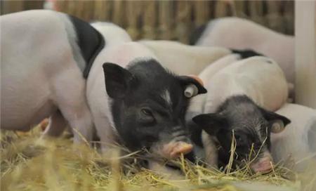 育肥猪饲养管理方法!