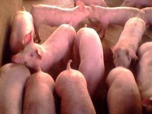 2021年2月25日全国各地今日仔猪价格行情
