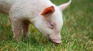 猪价跌破14元,河北山东河南等地90kg以下小猪出栏占比严重。