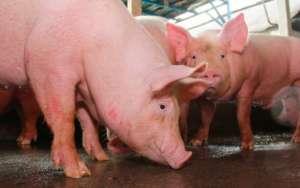 非洲猪瘟基因缺失毒株已形成大规模扩散面和污染面
