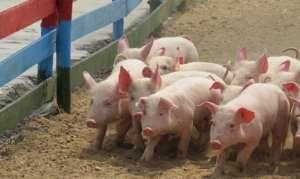 猪场不会建?最全猪场建设知识!你想知道的都在这里!