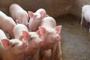 断奶小猪怎么喂长得快?