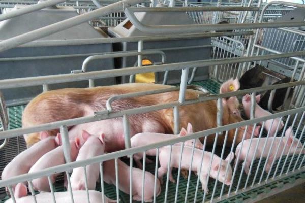 小猪断尾时间是什么时候,附产后就断尾的原因