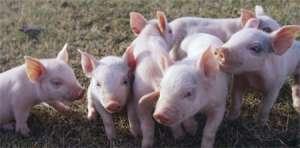 仔猪的饲养管理技术要点