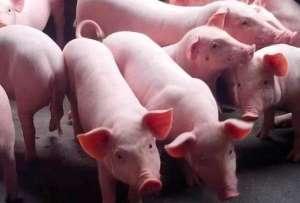 三种生猪常见内科病的防治措施!