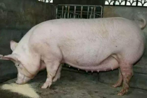 母猪瘫痪了打什么针,需明确病情后再治疗