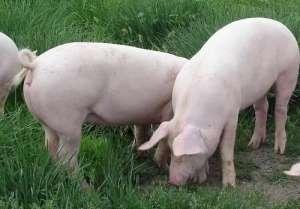 2021年3月31日全国生猪今日价格行情:今日猪价下跌