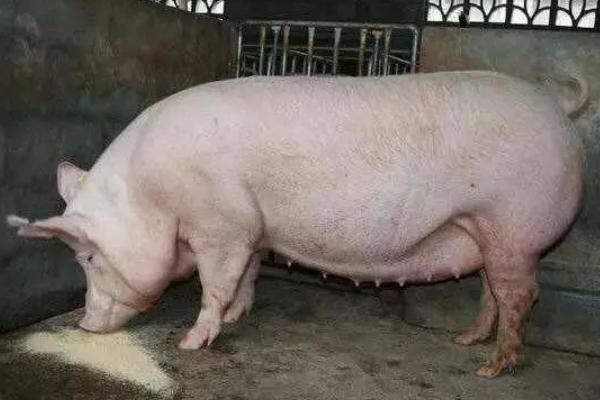 母猪瘫痪了打什么针