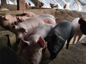 2021年4月2日全国土杂猪生猪今日价格行情涨跌表