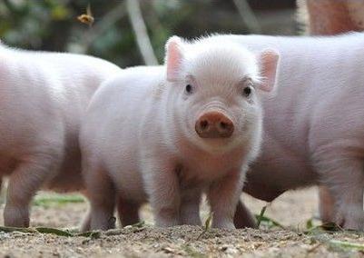 猪突然死亡,先找这9种病因!