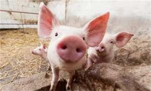 不用抗生素,仔猪如何不腹泻?