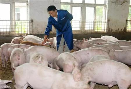 育肥猪的饲养管理技巧