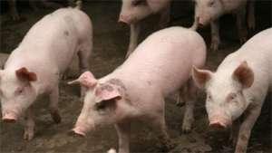 为什么你的猪疫苗免疫效果不好?这就是原因!