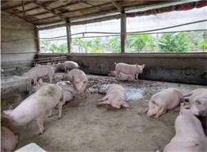 猪场的僵猪怎么处理最划算?