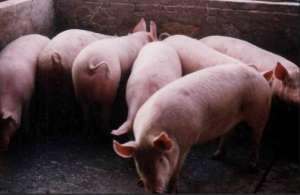 2021年4月9日全国内三元生猪今日价格行情涨跌表
