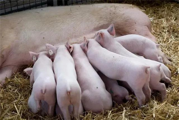 6个窍门让养猪人都学会给仔猪诱食!