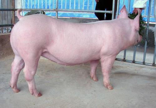2021年4月12日全国外三元生猪今日价格行情