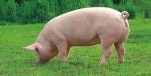 致命的猪胀气怎么办?发病原因和防治方法要知道