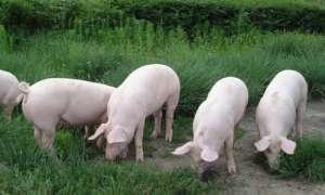 2021年4月12日全国内三元生猪今日价格行情