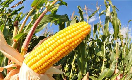 玉米价格回暖,新一轮上涨潮或即将到来