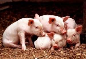 母猪为什么产弱仔?