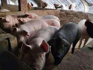 2021年4月14日全国土杂猪生猪今日价格行情