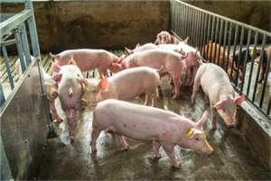 猪大便为何干结,治疗方法有哪些?