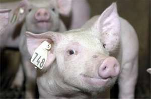 对猪有害的微量元素有哪些?中毒后的表现是什么?
