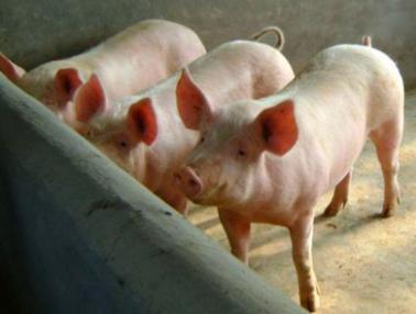 治好猪病不算牛,养好猪少生病才是牛!