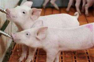 规模猪场仔猪养殖25个秘诀