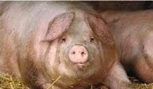 育肥猪的管理要点,做到这些才能多赚钱!!
