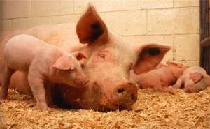 配种后母猪直至分娩管理要点
