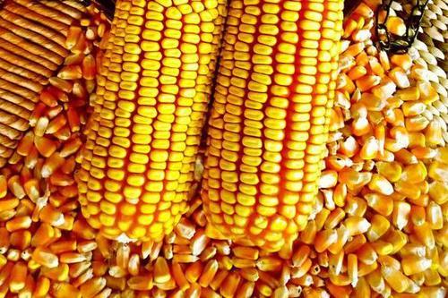 玉米涨100元/吨只是开始!