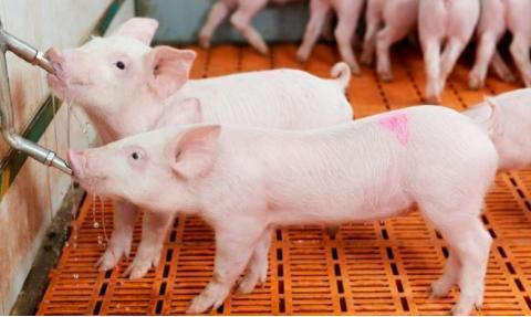 保育猪咳嗽喘发烧有什么好方案