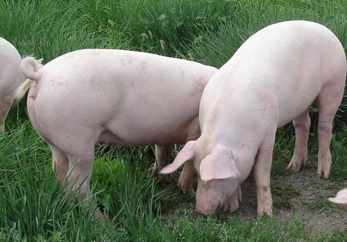 2021年4月27日全国生猪今日价格行情:今日猪价稳中下跌