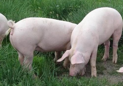 2021年4月28日全国今日生猪价格行情:今日猪价涨跌不一