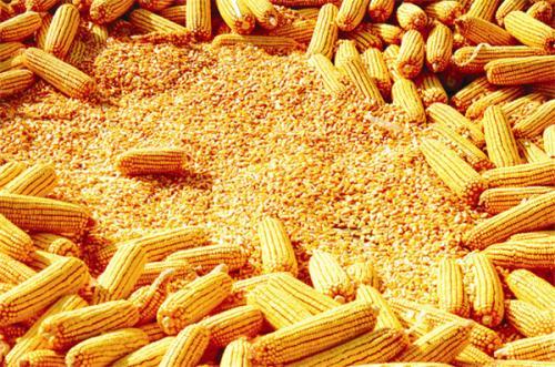 2021年4月30日国内主要产销区今日玉米价格行情
