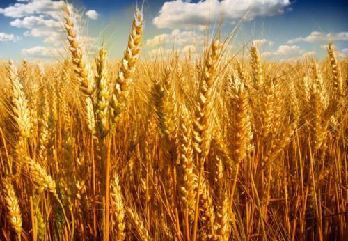 2021年4月30日全国各地市场小麦今日价格行情