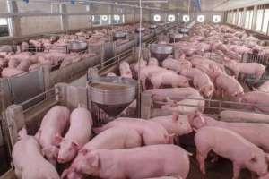 2021年5月7日全国内三元生猪今日价格行情走势