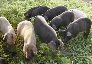 2021年5月7日全国土杂猪生猪今日价格行情走势