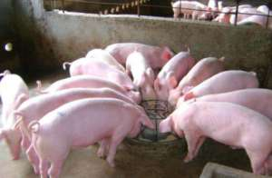 鸡粪可以再利用来养猪吗?具体怎么用?