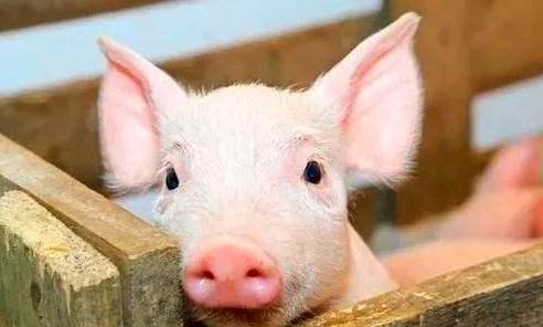 """猪的""""泪斑"""",不同泪斑代表着不同的疾病!"""