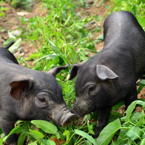 猪价跌饲料涨!新希望、正邦等35家饲企最高涨160元/吨