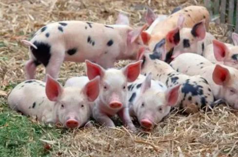 2021年养猪还能行吗?散养户应注意啥,才能保证有较高的利润?