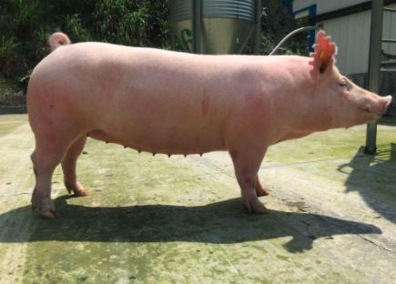 养猪人记住这几招,卖猪不被骗!