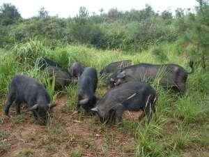 养殖野猪前景如何?