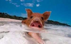 高温天气即将到来,猪场这三件事一定要引起注意!