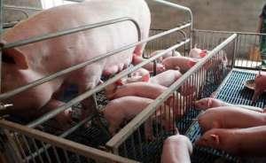 母猪产后几天不排尿、排尿困难、躁动不安是怎么回事?