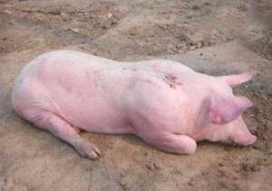 猪低温了,别慌,这里教你及时升温的办法