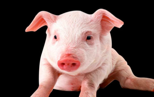 猪为什么会出现打架的现象?如何预防猪打架?